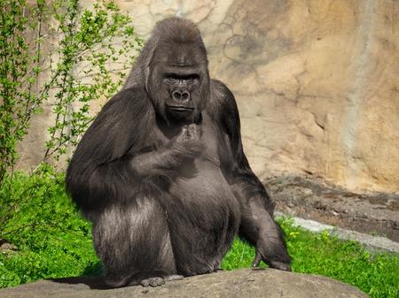 Portrait of a gorilla in the park . Archivio Fotografico
