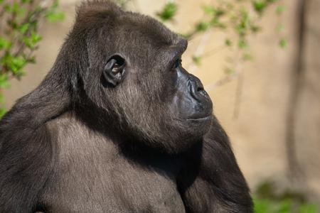 Portrait of a gorilla in the park . 版權商用圖片