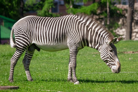 Zebra in the pasture in the park . Stock Photo