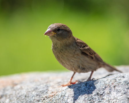 Sparrow on the road in the city .