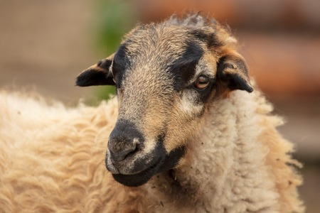 Portrait of a ram in a pasture .