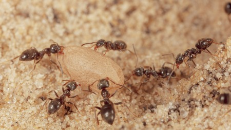 Ants and formic eggs in nature. Macro