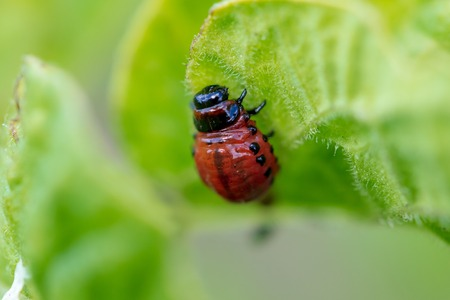 Red colorado beetle on the leaves of potatoes. Macro Banque d'images - 105655462