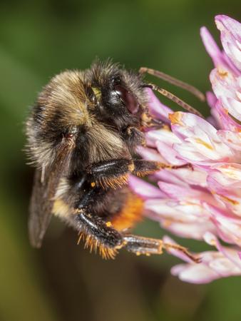A bee collects honey on a flower. Macro Фото со стока - 115806946