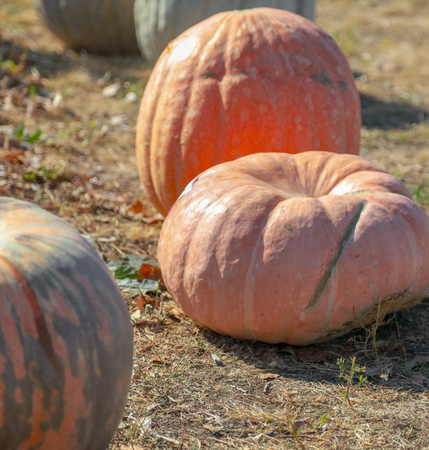 Ripe pumpkin in the fall on the market . Stock Photo