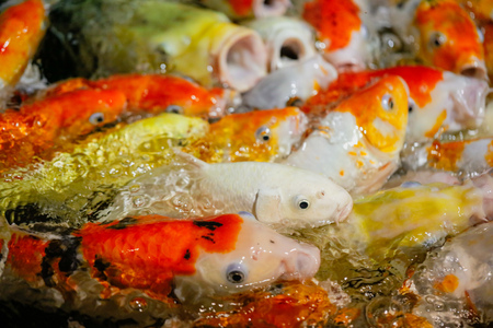 Multicolored fish carp on the water surface . Stock Photo