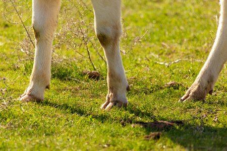 Cow hooves on the grass in spring . Reklamní fotografie