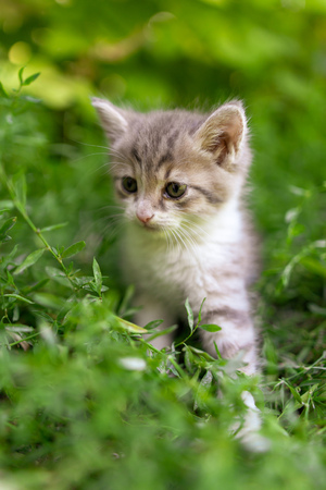Portrait of a kitten in green grass . 스톡 콘텐츠 - 114973794