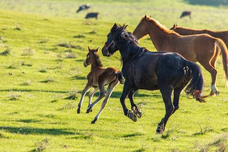 Horses graze in the steppe of Kazakhstan in spring .