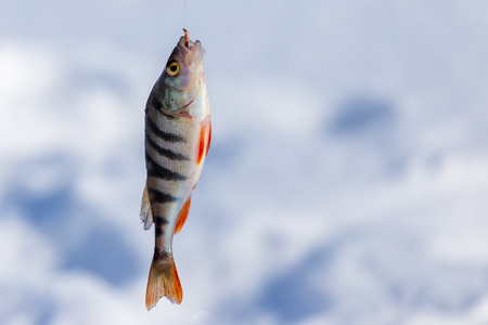 Perch caught on a bait with ice in winter .