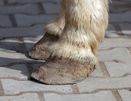 The hooves of a horse walking on the pavement .