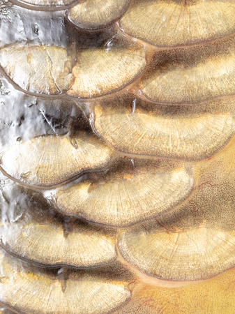 Scales on carp fish as abstract background .