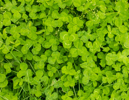 Green clover leaves on the nature as background . Stock Photo