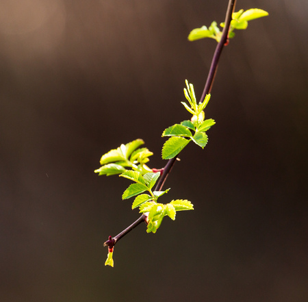 Young green leaves on a tree in spring . Stock Photo