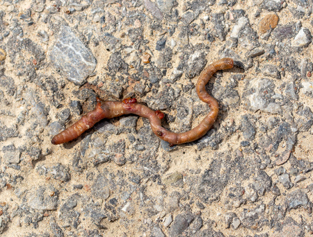Dead earthworm on the road. Macro