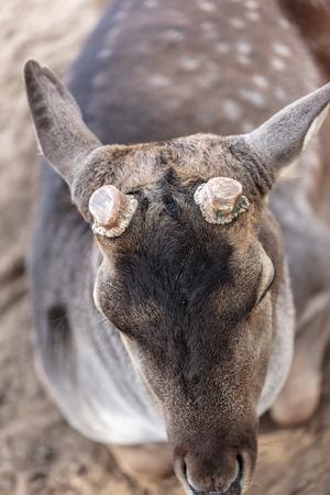 Sawed antlers on a deer's head .