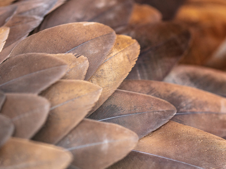 Eagle feathers as abstract background .