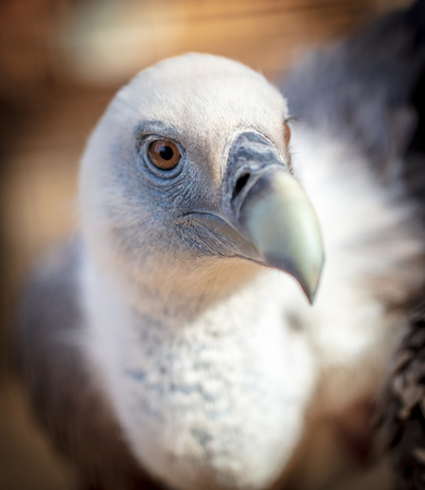 Portrait of a vulture at the zoo .