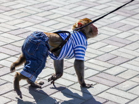 Monkey walks on a leash in the park .