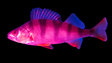 Blue pink snapper isolated on black background . Foto de archivo