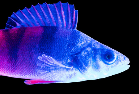 Blue pink snapper isolated on black background . Foto de archivo - 121374745