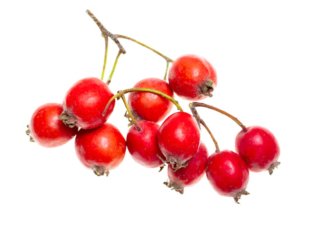 Red hawthorn berries on a white background .