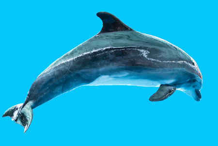Dolphin isolated on blue background