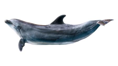 Delphin isoliert auf weißem Hintergrund.
