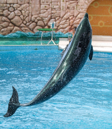 Dolphin jumps from the pool in the park.