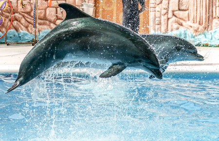 Two dolphins jumping from the pool in the park.