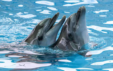 Two dolphins cuddle in the water. Love Foto de archivo