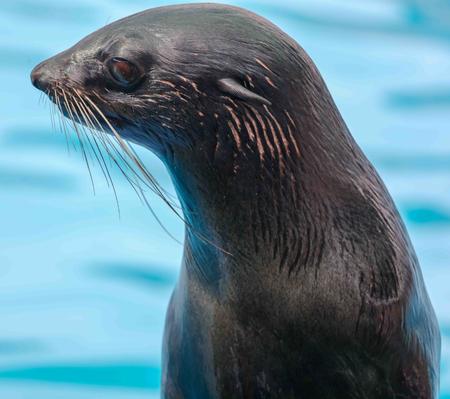 Fur seal portrait on nature.