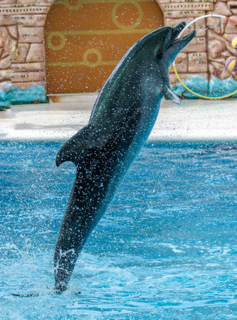 Dolphin portrait in the water.