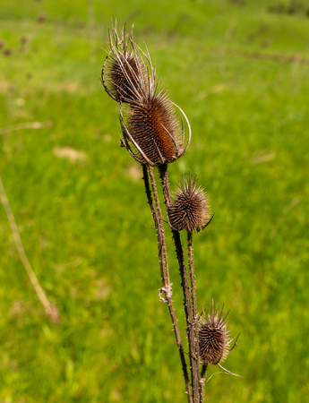 Dry flower in spring steppe.