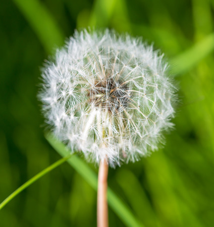 Dry dandelion flower in the steppe in spring.