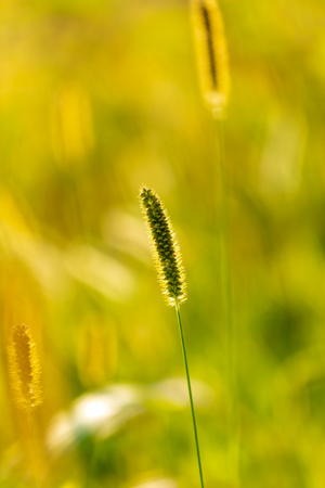 Spikes on the grass in nature as a background. Imagens