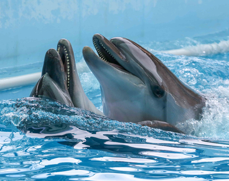 Two dolphins cuddle in the water. Love Imagens