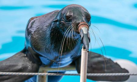 Fur seal sings in a circus microphone. Imagens