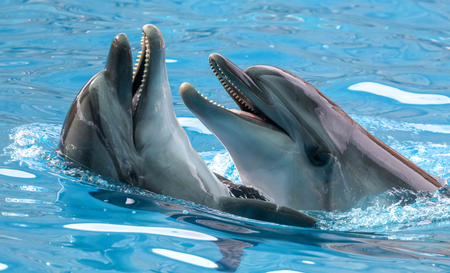 Two dolphins cuddle in the water. Love 版權商用圖片