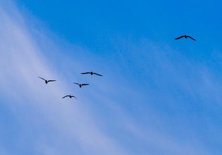 A flock of birds fly south on a blue sky. 版權商用圖片