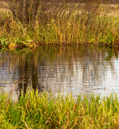 Grass and reed with reflection in the pond.