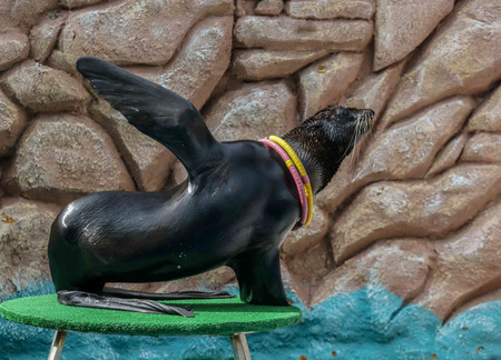 Seal as an artist in the circus. Imagens