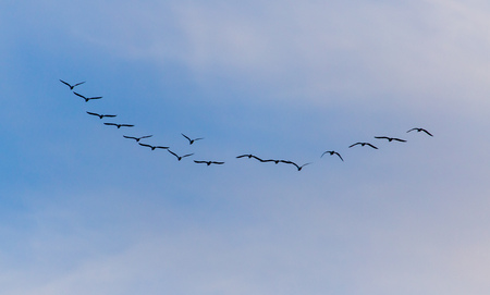 A flock of birds fly south on a blue sky. Stock Photo