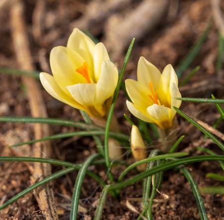 Yellow snowdrop flower on nature in spring . Reklamní fotografie