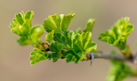 Small leaves on gooseberry in spring .