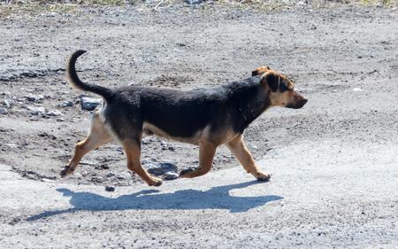 The dog runs along the asphalt road.