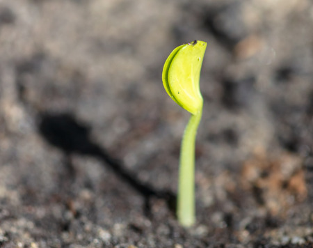 A small watermelon plant sprouts from the ground.