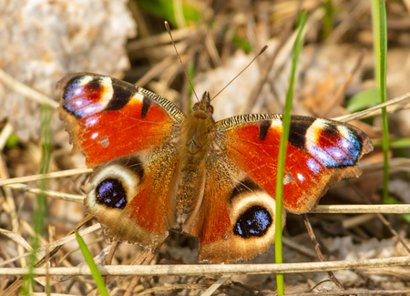 Butterfly on dry grass in spring .