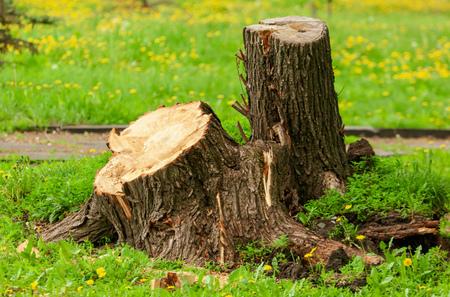 Ceppo di albero nel parco in primavera.