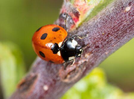 Ladybug on a tree branch. Macro Banco de Imagens